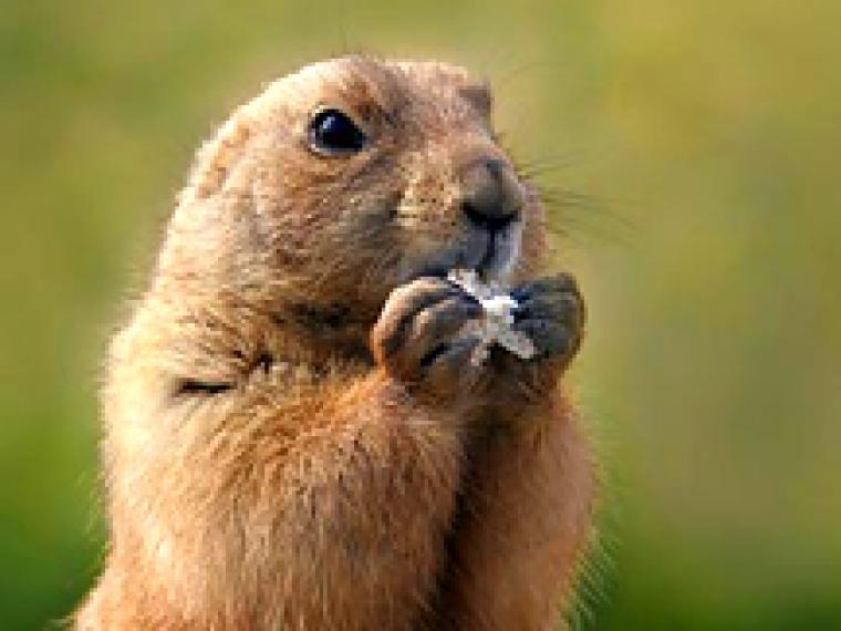 Una marmota es la estrella entre los arqueólogos